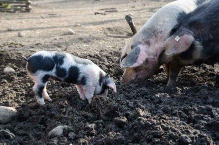 Führungen zum lieben Vieh