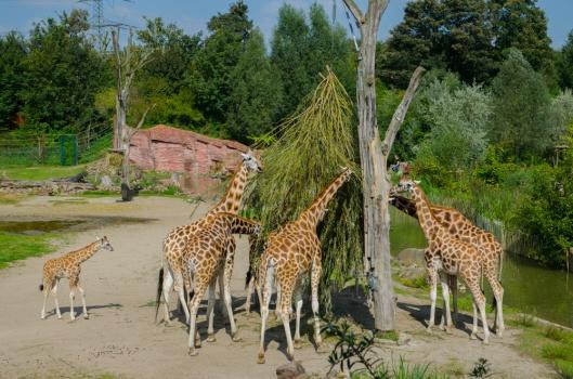 Zoom Erlebniswelt Gelsenkirchen: Afrika - Die kleine Giraffe auf Abwegen.