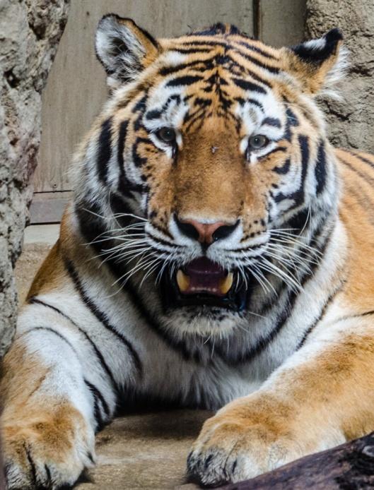 Zoom Erlebniswelt Gelsenkirchen: Asien - im Reich des sibirischen Tigers
