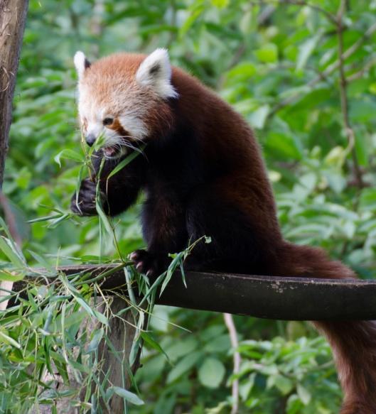 Zoom Erlebniswelt Gelsenkirchen: Asien - die kleinen Pandas