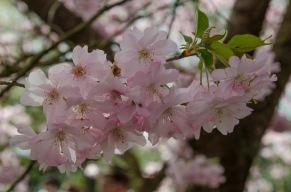 """""""Kirschblüte"""" in den Gärten der Welt"""